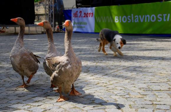Pes číhá na husy. foto: Probio.cz