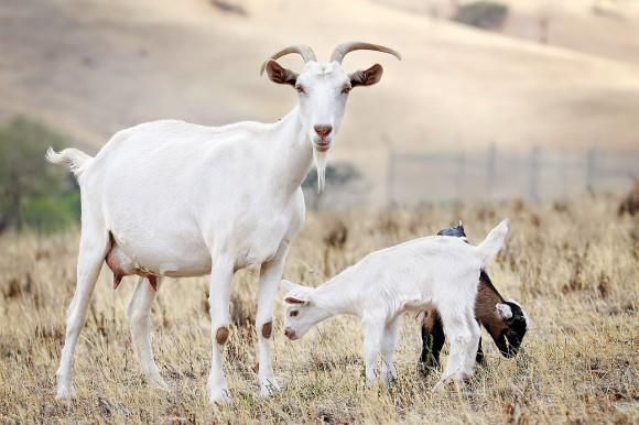 Pohled na stádo pasoucích se koz bude pro Newyorčany jistě velmi nevšední. Zdroj: commons.wikimedia.org