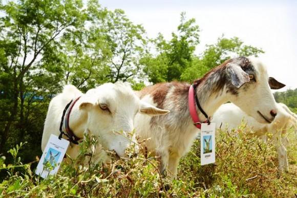 """""""Nabídka služeb kozího stáda je prozatím vázána jen na okolí města Seattle."""" Zdroj: Amazon"""