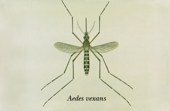 Běžný komár druhu Aedes vexans, foto: public domain