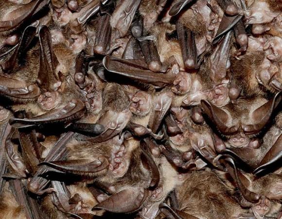 Zimoviště netopýrů - pro někoho noční můra, pro jiného splněný sen. zdroj: wikimedia.commons.org