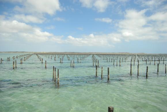 """""""Pěstování ústřic  - ekonomický byznys s ekologickým pozadím."""" Zdroj: commons.wikimedia.org, autor: Saoysters, licence Creative Commons Attribution 3.0 Unported"""