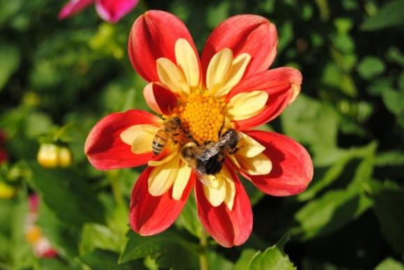 Pachové senzory včel jsou příliš citlivé, aby ustály přítomnost výfukových plynů v ovzduší. foto: Charles Rondeau, licence public domain, publicdomainpictures.net