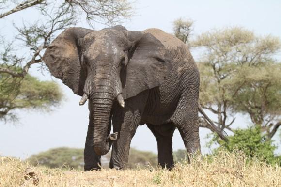 Výkonná nahrávací technika poháněná energií slunce prozradí vědcům více o komunikaci slonů. foto: Engelboel/sxc.hu