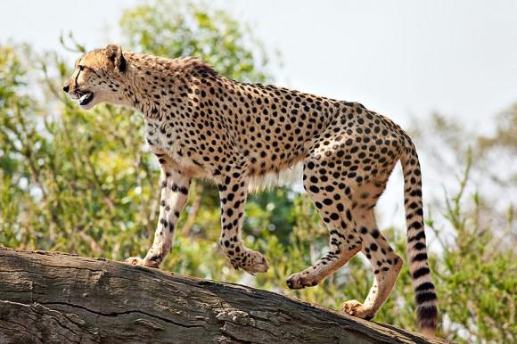 Gepard v otevřeném výběhu australské zoo ve Werribee, foto: Fir0002/Flagstaffotos, licence GFDL v1.2