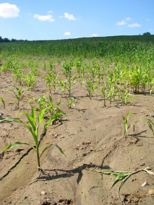 Kukuřičná pole jsou velmi náchylná k větrné a vodní erozi. Zdroj: archiv Martin Střelec