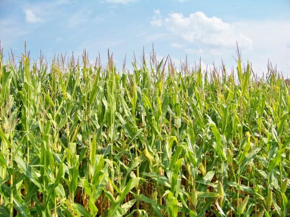 Kukuřičné pole ve státě Iowa, foto: sxc.hu