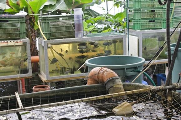 Městská farma UrbanFarmers AG ve Švýcarsku je světově ojedinělý projekt. Jeho zakladatel Roman Gaus se rozhodl v praxi vyzkoušet tzv. akvaponii, tedy souběžný chov ryb a pěstování rostlin. foto: UrbanFarmers AG
