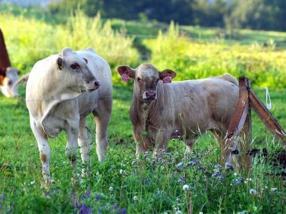 Chov skotu má v České republice staletou tradici a v minulosti byla využívána kromě produkce mléka a hovězího masa i jeho tažná síla. foto: Marwin v.o.s.
