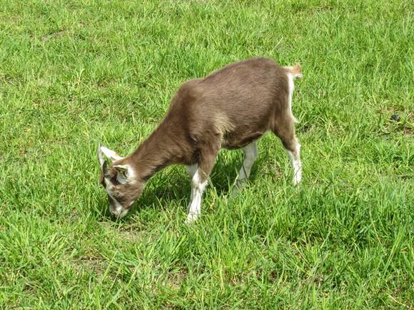 Stádo koz pomáhá v New Yorku s plevelem, foto: Ayla87/sxc.hu