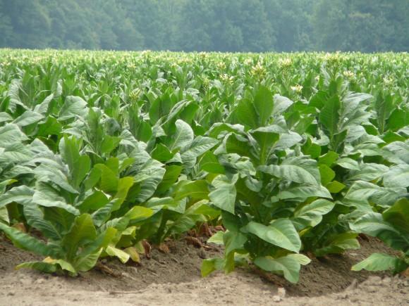 """Stane se """"zlý"""" tabák nedocenitelným, """"dobrým"""" zdrojem biopaliv? foto: perrykm5, licence Creative Commons"""