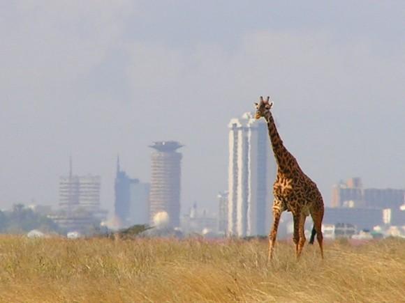 Osamělá žirafa v Národním parku Nairobi v Keni, poblíž stejnojmenného hlavního města. Nairobi patří mezi nejvyspělejší a největší metropole Afriky. foto: Magnus Manske/Mkimemia, Wikimedia, licence Creative Commons Attribution-Share Alike 3.0 Unported