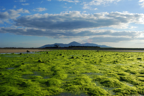 mořské řasy - Skotsko