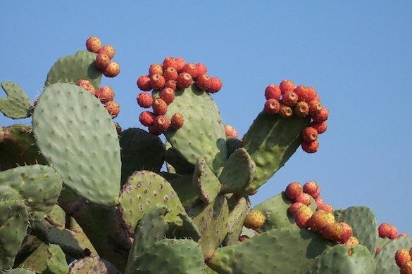 kaktus Opuncie